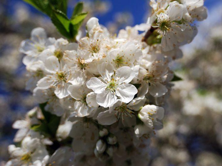 Cherry blossom (in my garden)