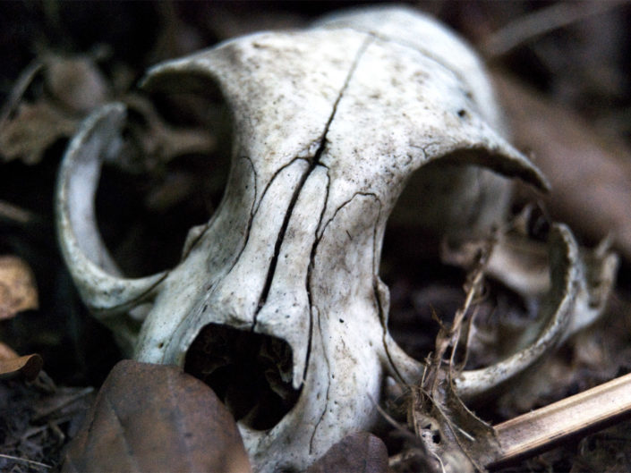 Skull (at the wood)